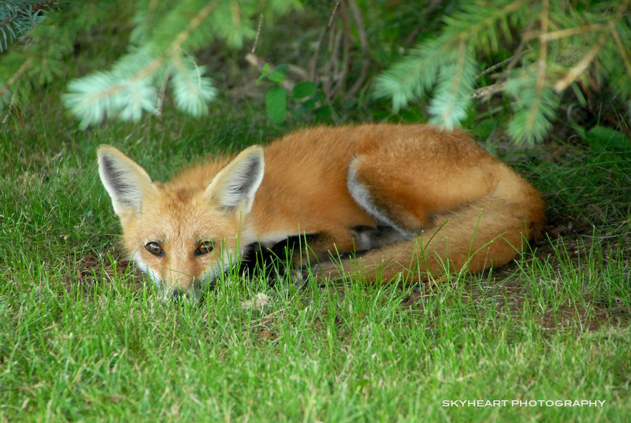 dog that looks like a fox - HD1250×839